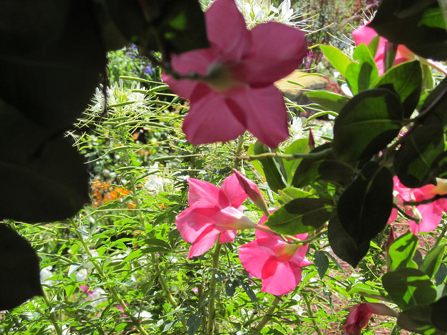 Pink Flower In The Shade Photograph
