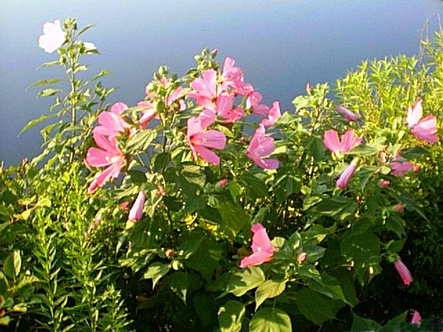 Hibiscus Digital Art - Pink Flowers By The Lake by Good Taste Art