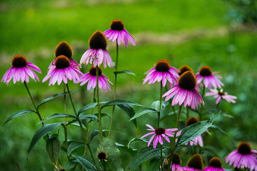 Maine Photograph - Pink Flowers In Maine by Jason Brow