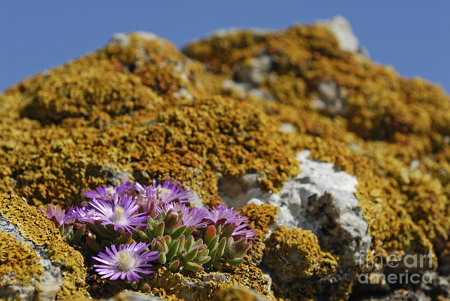 Beauty In Nature Photograph - Pink Flowers On Mossy Rock by Sami Sarkis