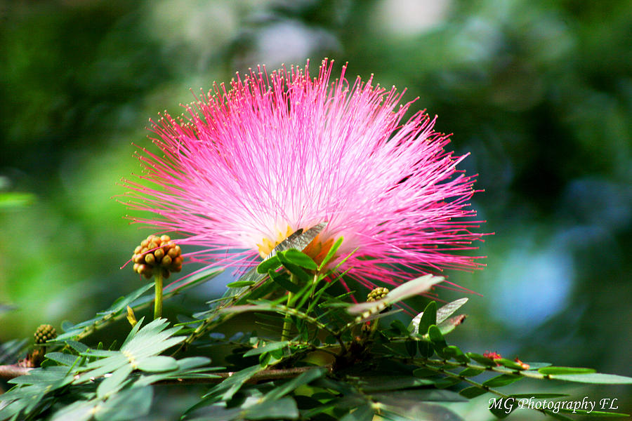 Flower Photograph - Pink Fluff by Marty Gayler