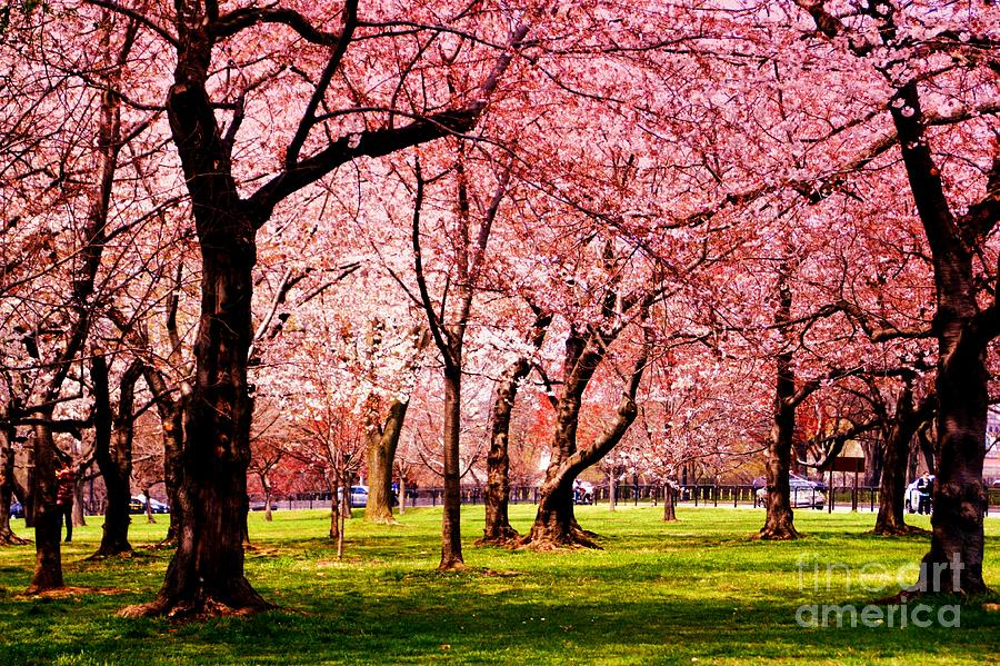 Cherry Trees Photograph - Pink Forest by Patti Whitten