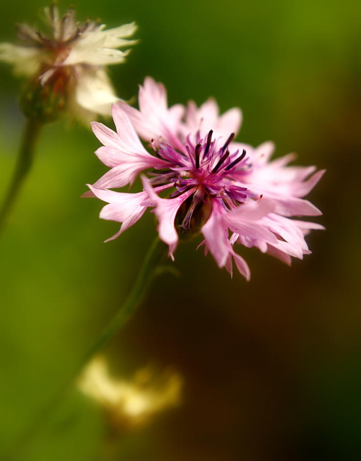 Pink Photograph - Pink Frillies by Alexandra  Rampolla