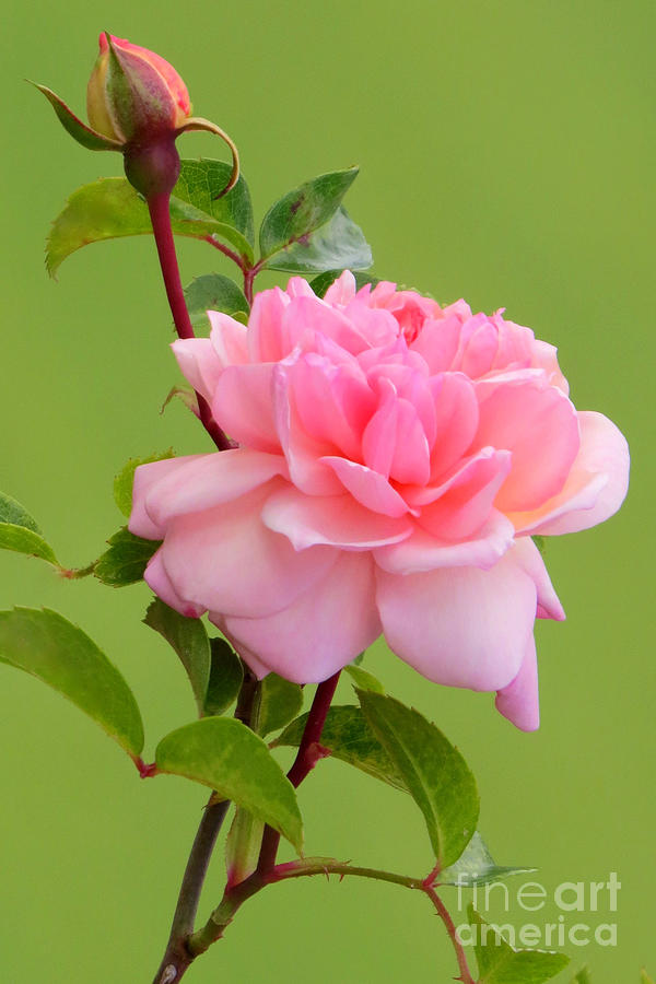 Rose Photograph - Pink Gem by Frank Townsley