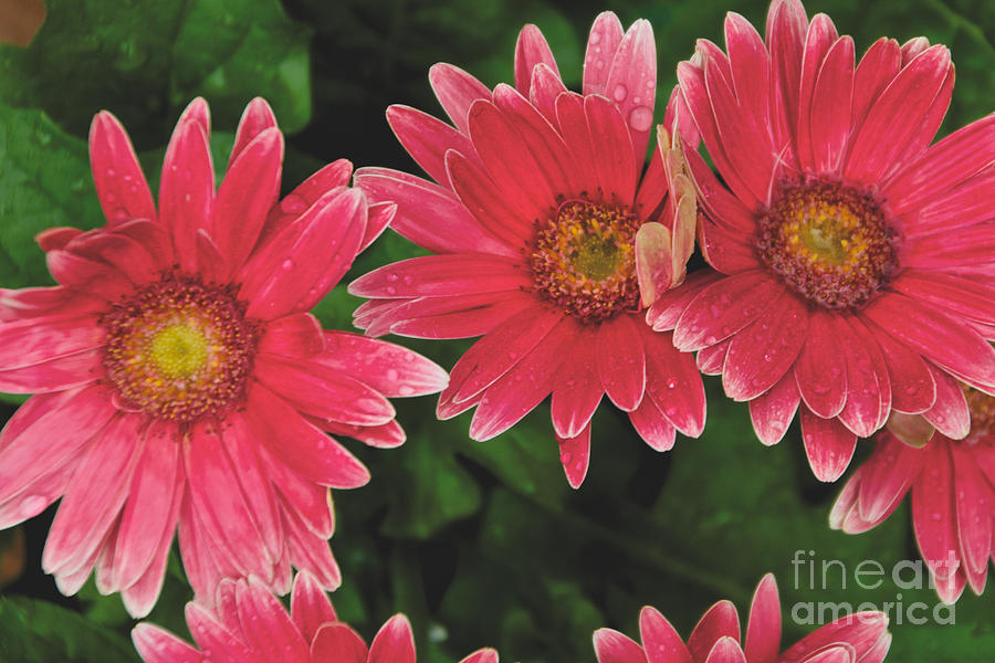 Pink Photograph - Pink Gerbera Daisy by William Norton