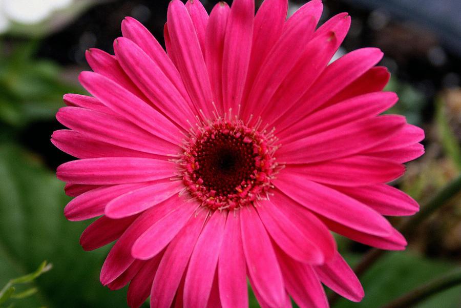 Pink Gerbera Photograph - Pink Gerbera by Kay Novy