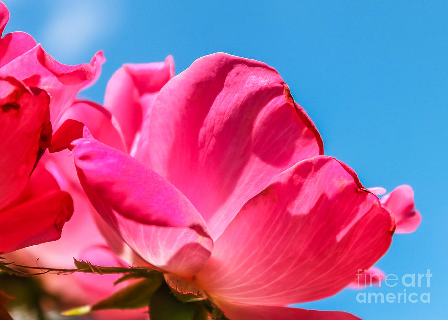 Flower Photograph - Pink Glory by Brandon Hussey