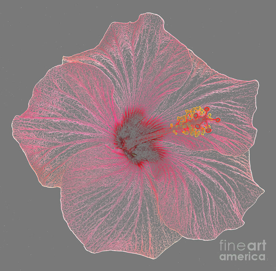Pink Hibiscus As Coloured Pencil Drawing Photograph By Rosemary