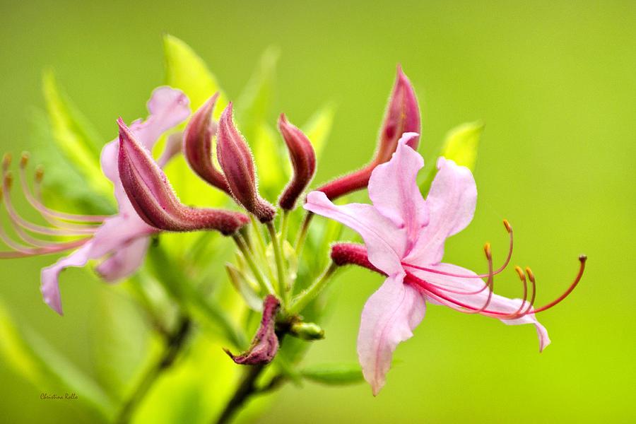 Honeysuckle Photograph - Pink Honeysuckle Flowers by Christina Rollo