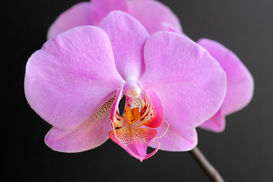 Phalaenopsis Photograph - Pink Hybrid Phalaenopsis by William Tanneberger