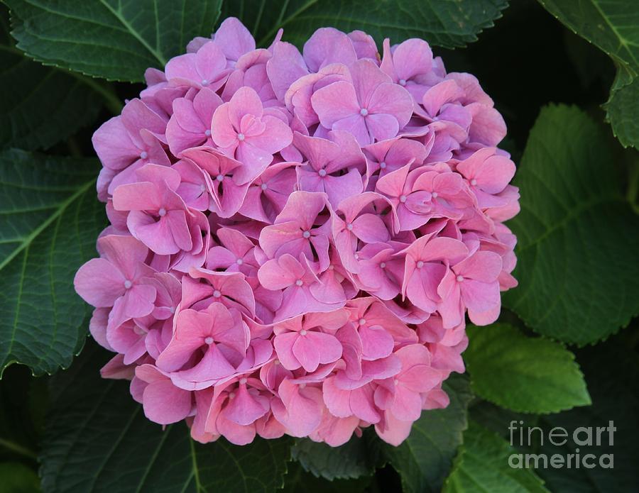 Flower Photograph - Pink Hydrangea All Profits Benefit Hospice Of The Calumet Area by Joanne Markiewicz