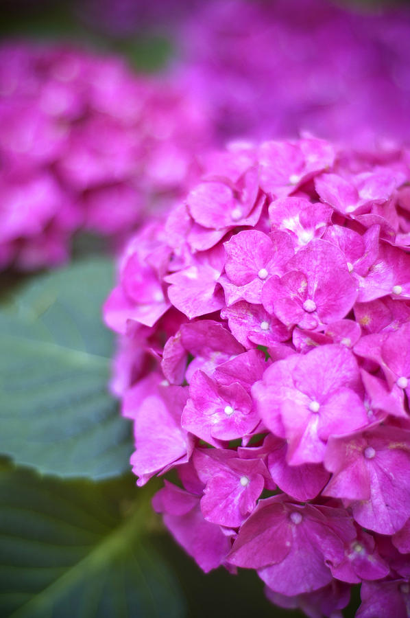 Pink Hydrangea Photograph