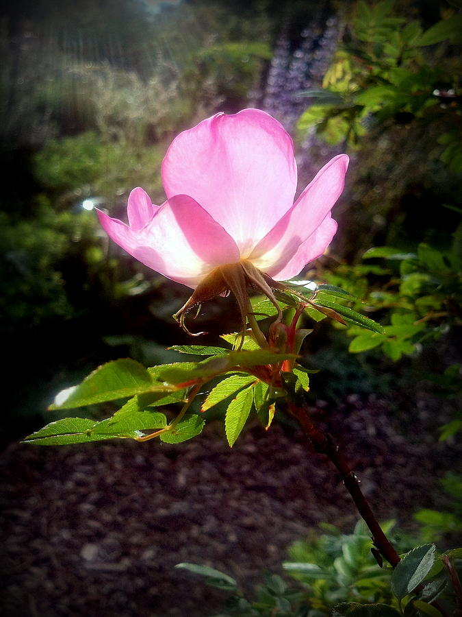 Flower Photograph - Pink Illumination by Heather L Wright