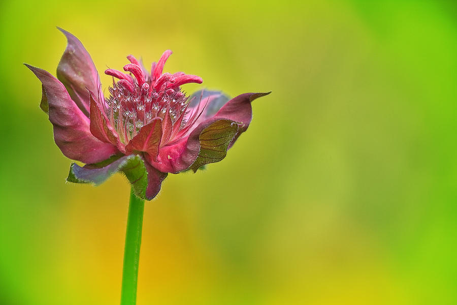 Concord Photograph - Pink Jester In Greene by Sylvia J Zarco