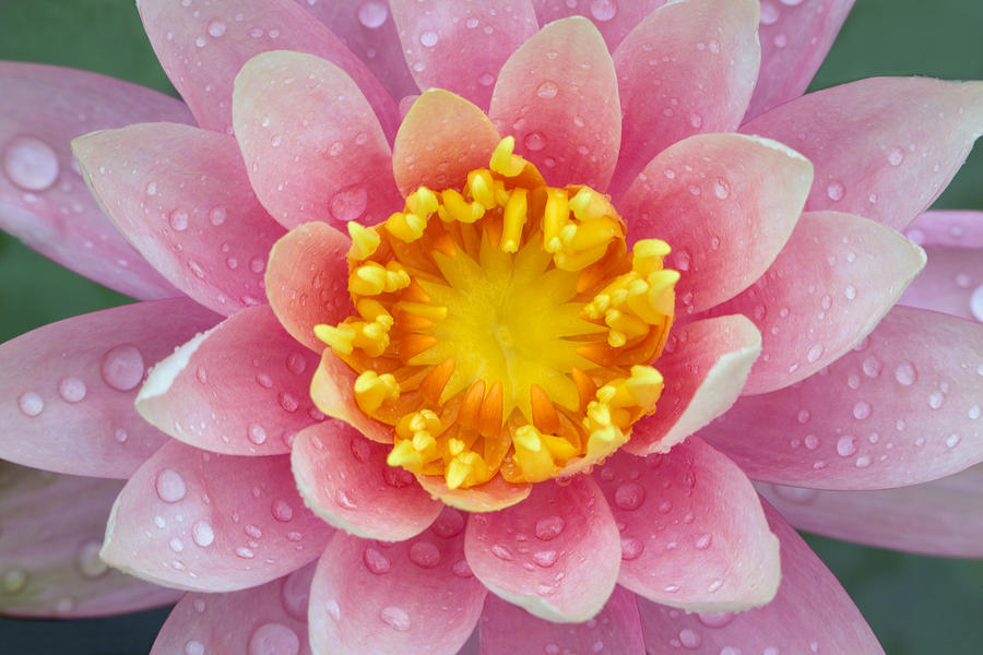 Flower Photograph - Pink by Karen Walzer