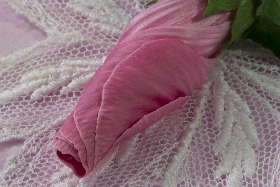 New Life Photograph - Pink Lavatera Bud Macro by Sandra Foster