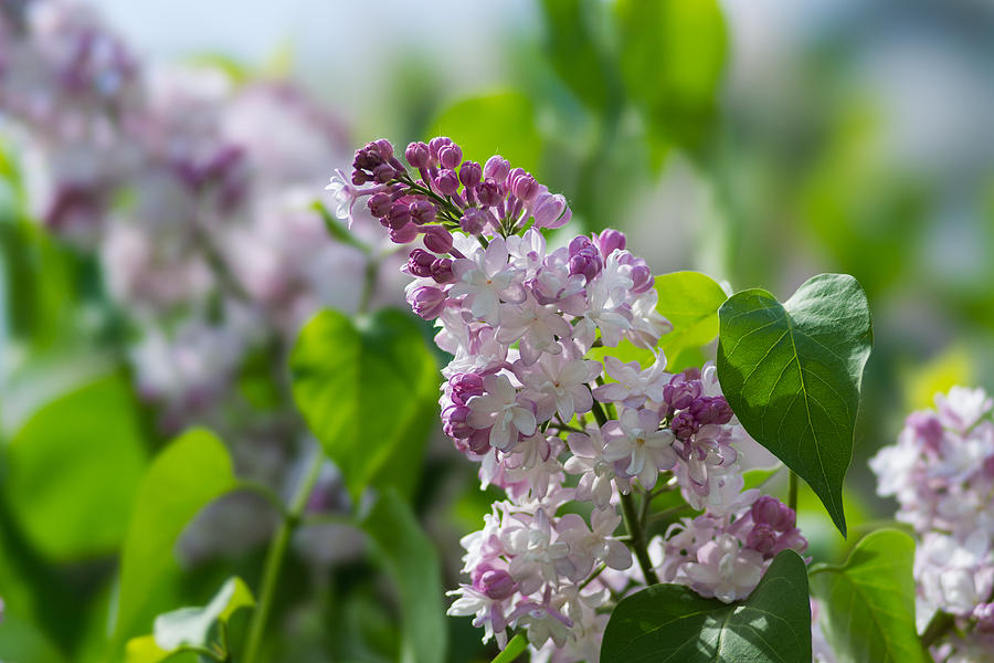 Beautiful Photograph - Pink Lilacs And Green Leaves - Featured 3 by Alexander Senin