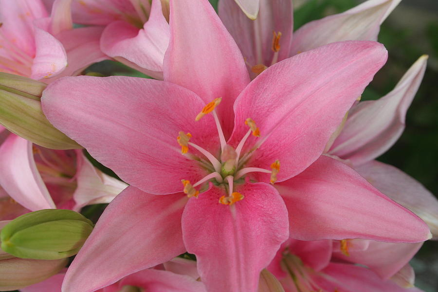 Pink Photograph - Pink Lilies by Cary Amos