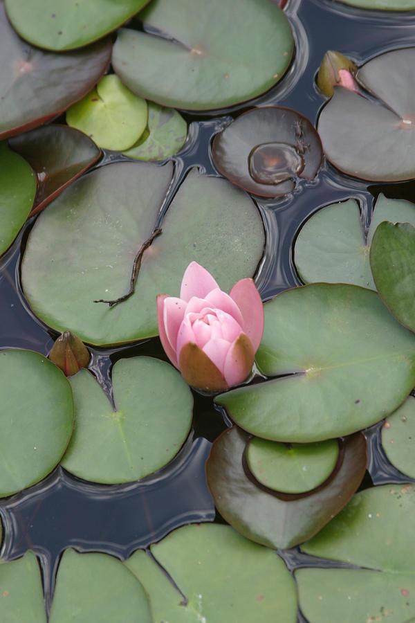 Lilly Photograph - Pink Lilly by Dervent Wiltshire