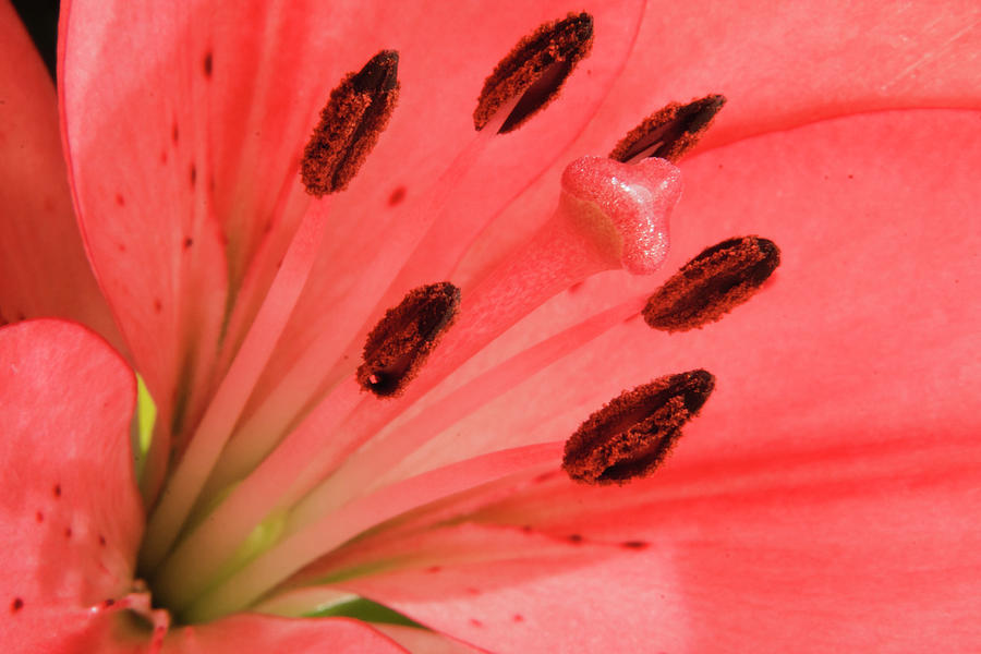 Abstract Photograph - Pink Lily Macro by Adam Romanowicz