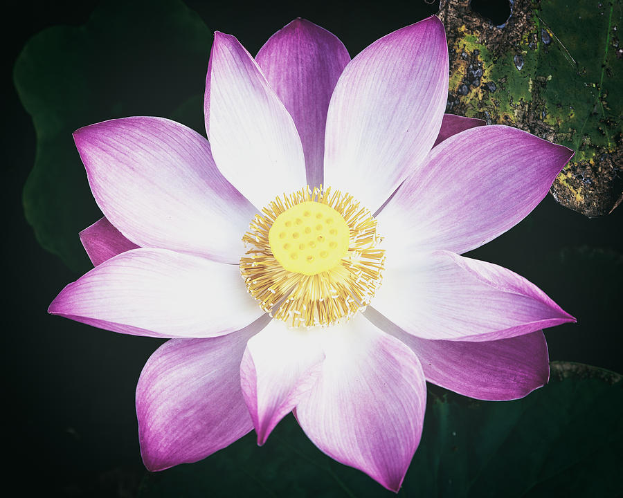 Pink Lotus Flower by Stefan Nielsen