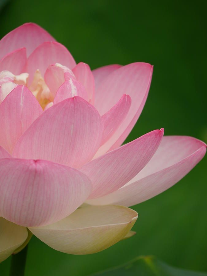 pink lotus by Jane Ford