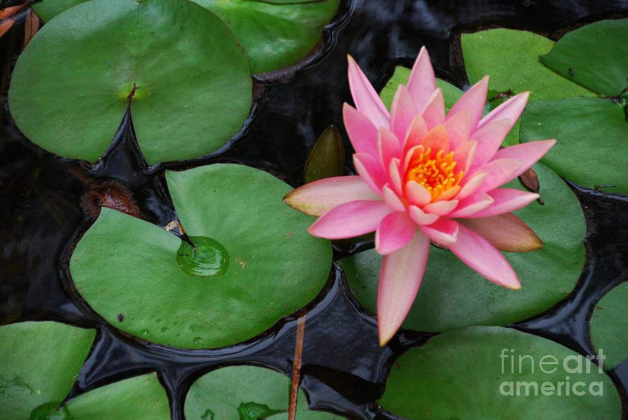 Pink Lotus Love by Ankya Klay