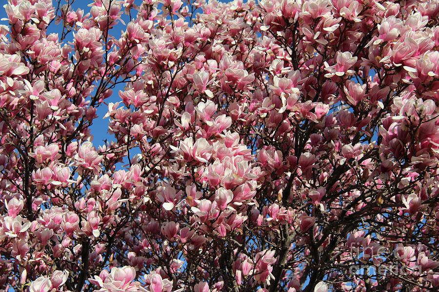 Magnolia Tree Photograph - Pink Magnolia by Anne Nordhaus-Bike