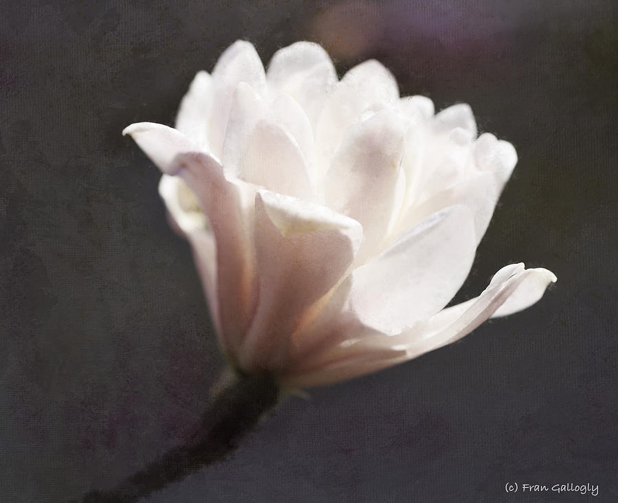 Pink Photograph - Pink Magnolia by Fran Gallogly