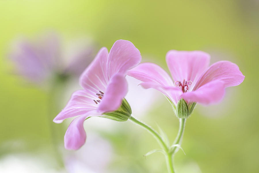 Flower Photograph - Pink Melody by Mandy Disher