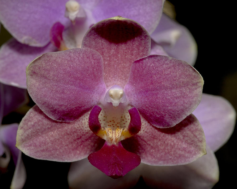 Close Up Photograph - Pink Moth Orchid by Gerald Murray Photography