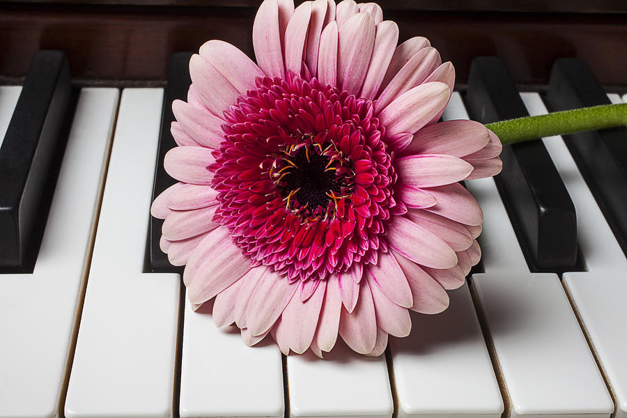 Pink Photograph - Pink Mum On Piano Keys by Garry Gay