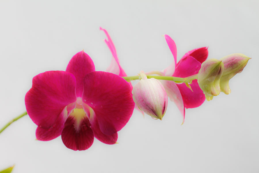 Orchid Photograph - Pink Orchid by Donald Chen