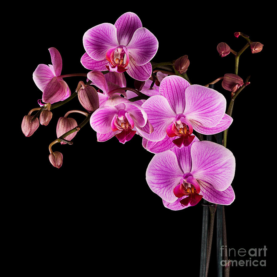 Orchid Photograph - Pink orchid flower by Judith Flacke