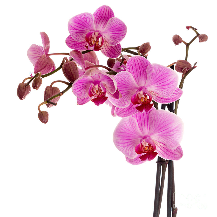 Orchid Photograph - Pink orchid by Judith Flacke