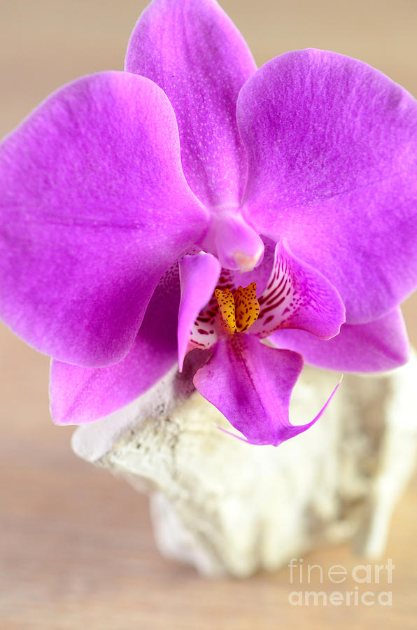Pink Orchid On White Colored Driftwood Photograph