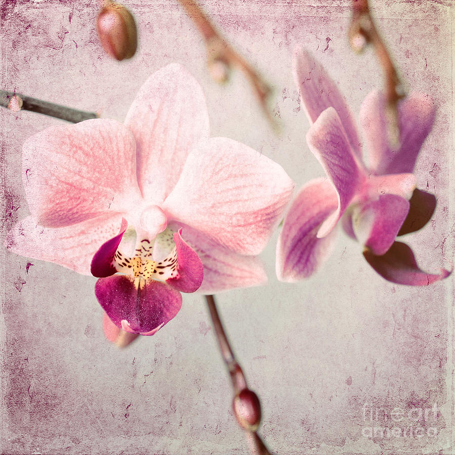 Pink Orchids 9 Photograph