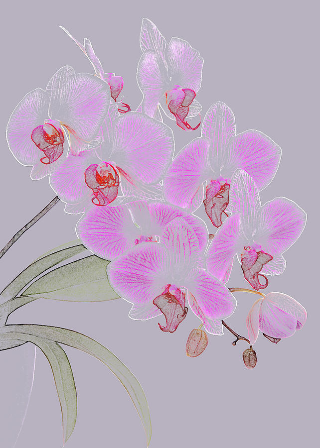 Pink Orchids As Coloured Pencil Drawing Photograph by Rosemary Calvert
