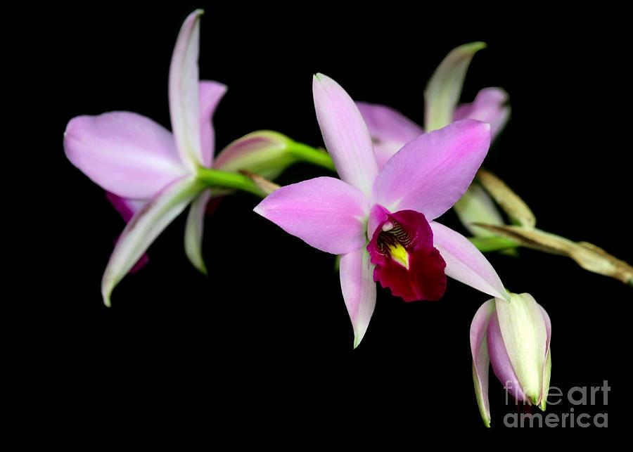 Macro Photograph - Pink Orchids Cascading by Sabrina L Ryan