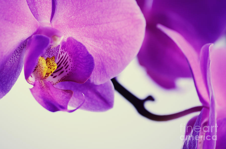 Pink Orchids Close-up Photograph