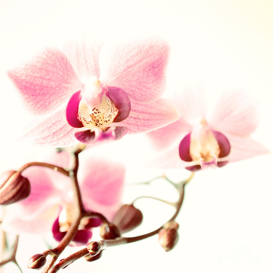 Pink Orchids On White Photograph