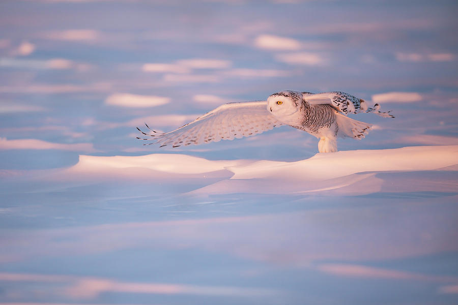 Snow Photograph - Pink Owl by Marco Pozzi