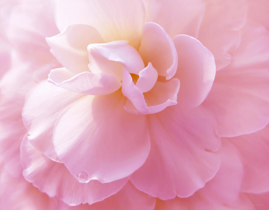 Pink pastel begonia flower photograph by jennie marie schell begonia photograph pink pastel begonia flower by jennie marie schell mightylinksfo