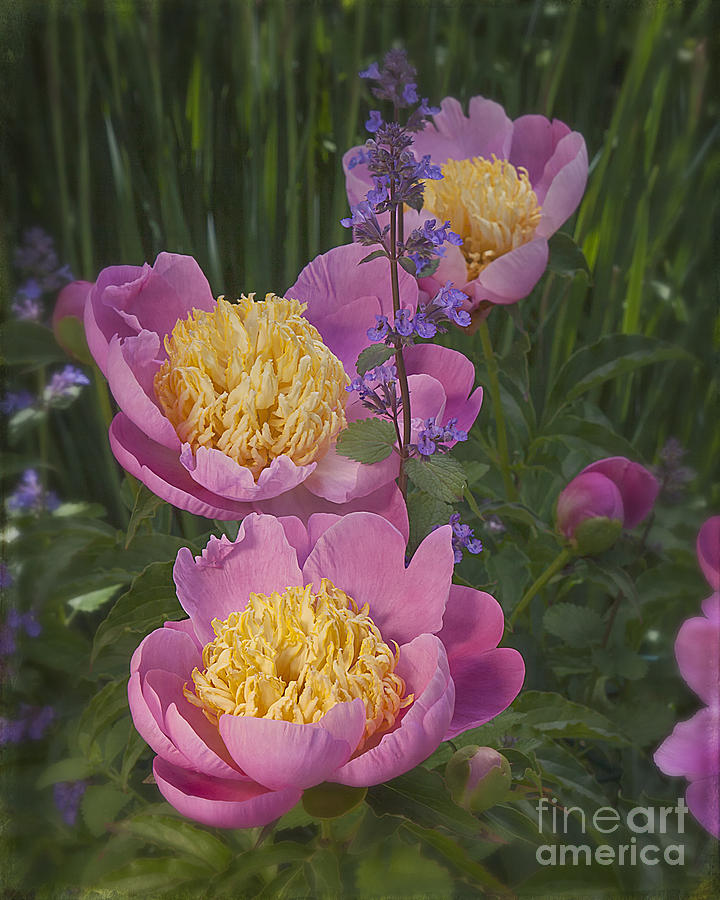 Pink Peonies In My Garden Photograph by Ann Jacobson