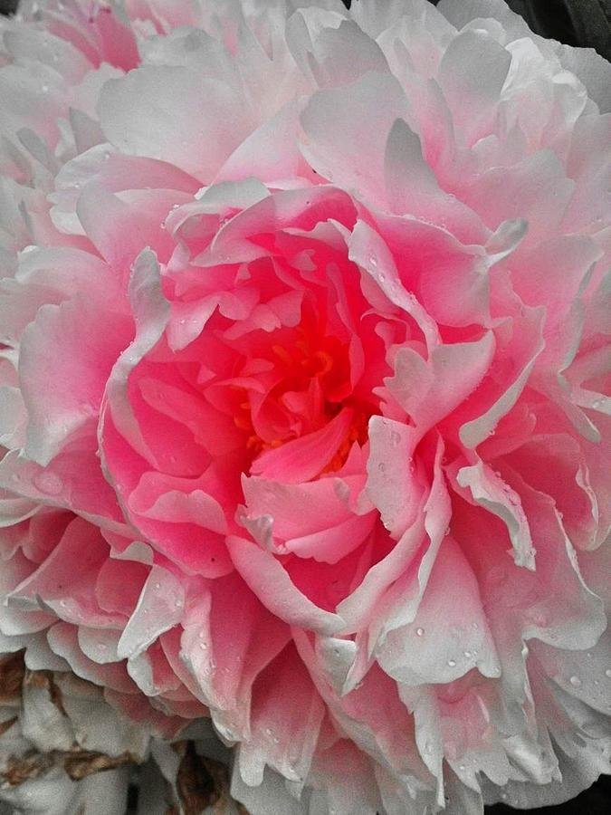 Pink Photograph - Pink Peony Rose by Beril Sirmacek