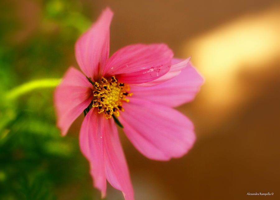 Pink Photograph - Pink Petals by Alexandra  Rampolla