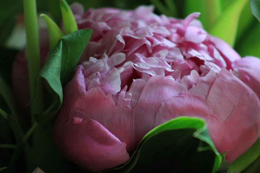 Flower Photograph - Pink Petals by Lily K