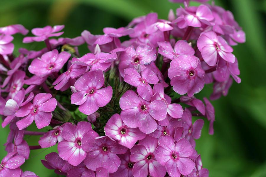 Bokeh Photograph - Pink Petals With Green Bokeh by Gene Walls