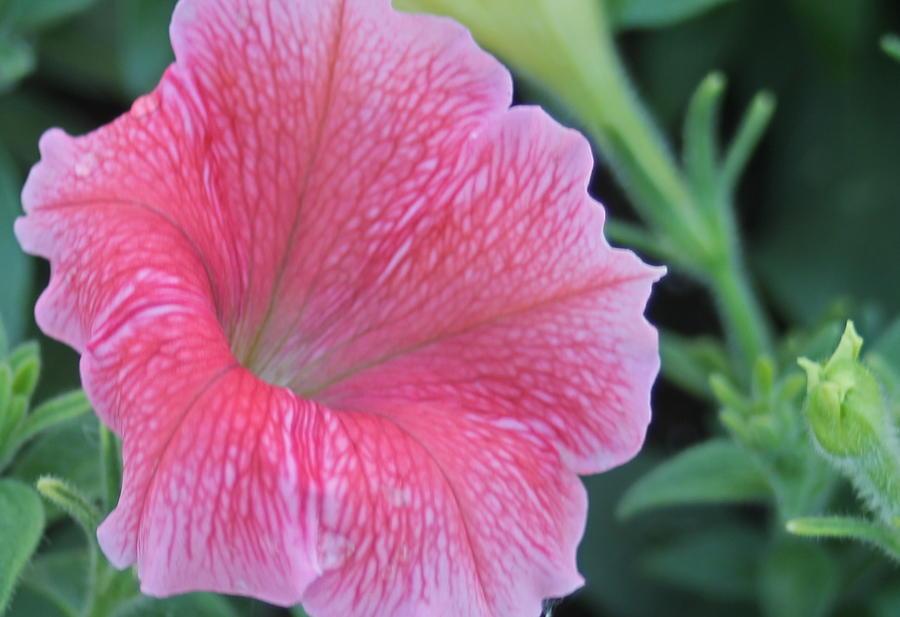 Petunia Photograph - Pink Petunia by Victoria Sheldon
