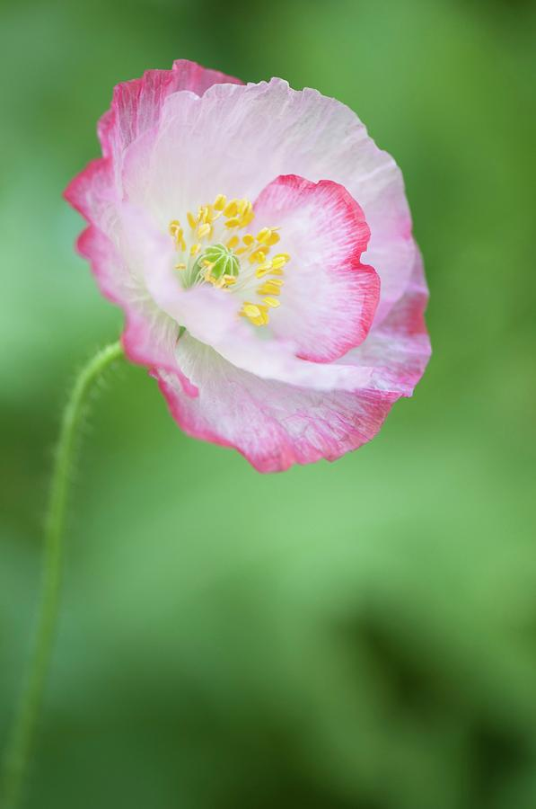 Papaver Rhoeas Photograph - Pink Picotee Shirley Poppy by Maria Mosolova